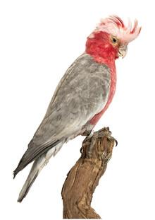 Marielle Leenders, Rarity Cabinet Bird Parrot (Netherlands, Europe)