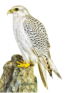 Marielle Leenders, Rarity Cabinet Bird Hawk (Netherlands, Europe)