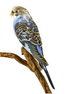 Marielle Leenders, Rarity Cabinet Bird Parakeet (Netherlands, Europe)