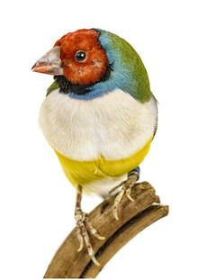 Marielle Leenders, Rarity Cabinet Bird Canary (Netherlands, Europe)