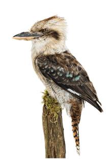 Marielle Leenders, Rarity Cabinet Bird Kookaburra Brown (Niederlande, Europa)