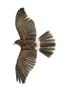 Marielle Leenders, Rarity Cabinet Bird Eagle (Netherlands, Europe)