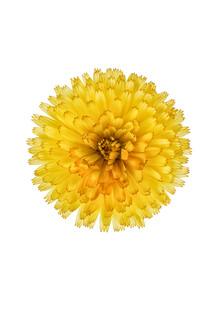 Marielle Leenders, Rarity Cabinet Flowers Calendula (Niederlande, Europa)