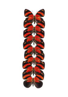Marielle Leenders, Rarity Cabinet Butterfly Red (Netherlands, Europe)