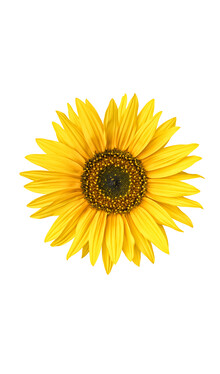 Marielle Leenders, Rarity Cabinet Flower Sunflower (Netherlands, Europe)