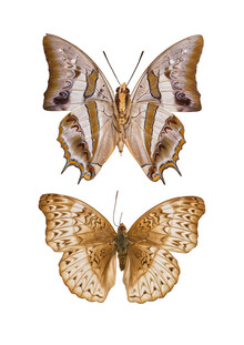Marielle Leenders, Rarity Cabinet Butterfly Brown (Netherlands, Europe)
