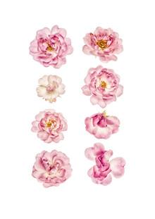 Marielle Leenders, Rarity Cabinet Flower Roses (Netherlands, Europe)