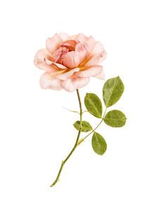 Marielle Leenders, Rarity Cabinet Flower Rose Pink (Niederlande, Europa)