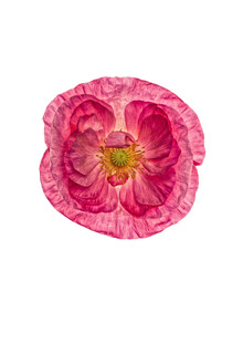Marielle Leenders, Rarity Cabinet Flower Poppy 1 (Niederlande, Europa)
