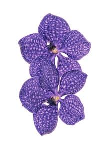 Marielle Leenders, Rarity Cabinet Flower Orchid (Netherlands, Europe)