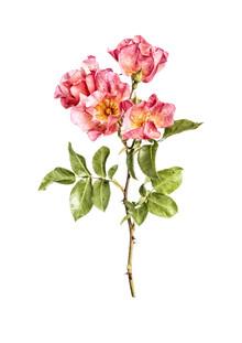 Marielle Leenders, Rarity Cabinet Flower Roses Apricot (Niederlande, Europa)