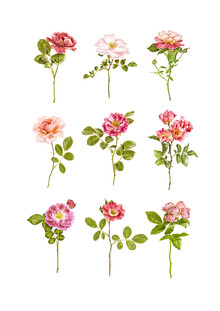 Marielle Leenders, Rarity Cabinet Flower Roses Mix (Niederlande, Europa)