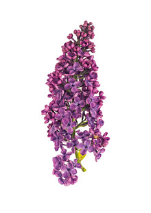 Marielle Leenders, Rarity Cabinet Flower Hydrangea (Netherlands, Europe)