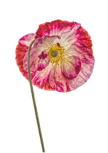 Marielle Leenders, Rarity Cabinet Flower Poppy 2 (Netherlands, Europe)
