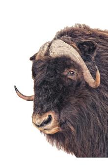 Marielle Leenders, Rarity Cabinet Animal Bison (Niederlande, Europa)