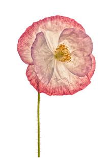 Marielle Leenders, Rarity Cabinet Flower Poppy 3 (Niederlande, Europa)