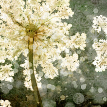 Katherine Blower, Elderflower (United Kingdom, Europe)