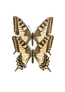 Marielle Leenders, Rarity Cabinet Butterflies Twin (Niederlande, Europa)