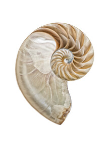 Marielle Leenders, Rarity Cabinet Shell Nautilus (Niederlande, Europa)