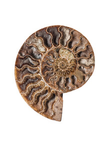 Marielle Leenders, Rarity Cabinet Shell Fossil Nautilus (Netherlands, Europe)