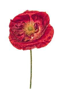 Marielle Leenders, Rarity Cabinet Flower Poppy Red (Netherlands, Europe)