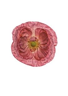 Marielle Leenders, Rarity Cabinet Flower Poppy Pink (Niederlande, Europa)