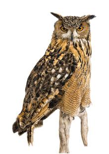 Marielle Leenders, Rarity Cabinet Bird Owl Big (Niederlande, Europa)