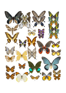 Marielle Leenders, Rarity Cabinet Butterflies Mix 1 (Netherlands, Europe)