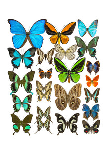 Marielle Leenders, Rarity Cabinet Butterflies Mix 2 (Netherlands, Europe)