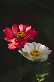 Nadja Jacke, Zinnien Sommerblumen (Deutschland, Europa)