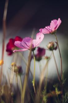Nadja Jacke, Summer flower cosmos (Germany, Europe)
