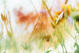 Nadja Jacke, summer flowers (Germany, Europe)