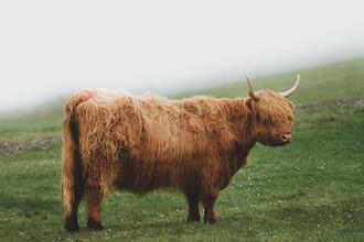 Jonas Hafner, Highland cattle (Denmark, Europe)