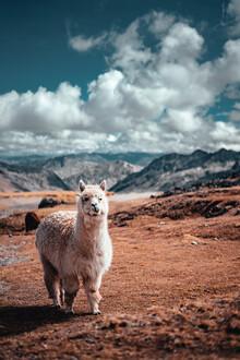 Tobias Winkelmann, Mountain Alpaca (Peru, Latin America and Caribbean)