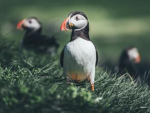 Christoph Schlein, Papageientaucher auf den Färöer Inseln (Färöer Inseln, Europa)
