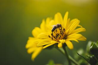 Nadja Jacke, yellow blossom with bee (Germany, Europe)