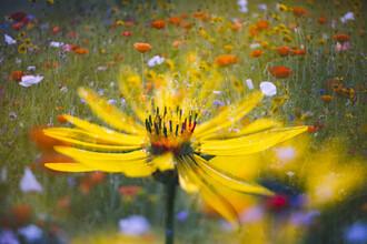 Nadja Jacke, Wildblumenwiese mit gelber Blüte (Deutschland, Europa)