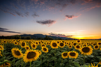 Nicklas Walther, Sunflower (Italy, Europe)