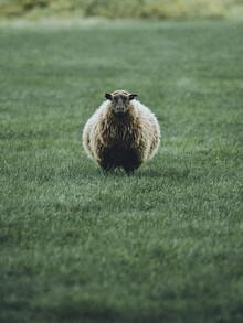 Franz Sussbauer, Portrait vom isländischen Schaf (Island, Europa)