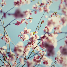 Nadja Jacke, Cherry blossoms with spring sky (Germany, Europe)