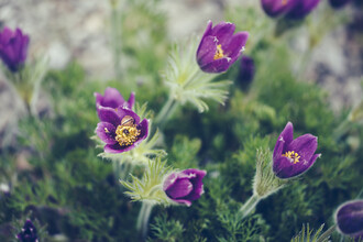 Nadja Jacke, Pasque flower (Germany, Europe)