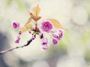 Nadja Jacke, Cherry blossoms (Germany, Europe)