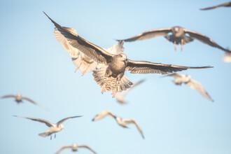 Sebastian Worm, Seagulls in Flight (Norway, Europe)