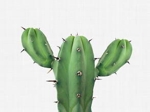 Vivid Atelier, Cactus 1 (Großbritannien, Europa)