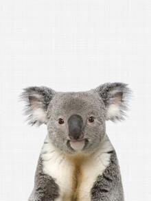 Vivid Atelier, Koala (Großbritannien, Europa)