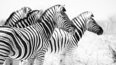 Dennis Wehrmann, Zebra Etoshapfanne (Namibia, Afrika)