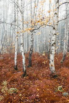 Holger Nimtz, Birch forest (Germany, Europe)
