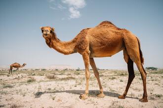 Kamele im Iran - fotokunst von Claas Liegmann