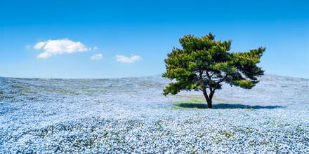 Jan Becke, Nemophila Blumenwiese im Frühling (Japan, Asien)