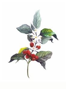 Christina Wolff, Mantika Kaffee Pflanze (Neuseeland, Australien und Ozeanien)